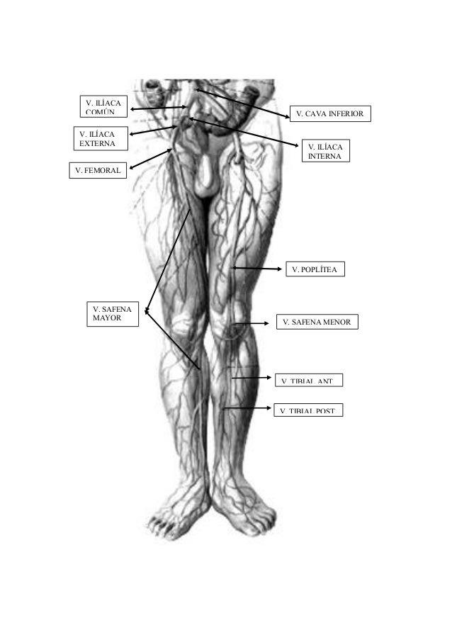 Apuntes anatomia 1_angeles