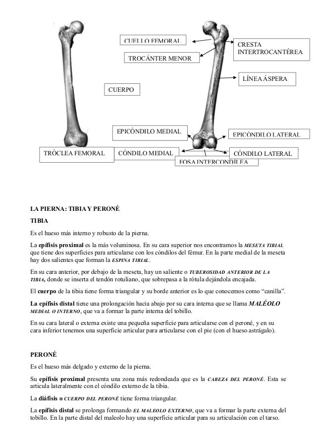 Fantástico Lo Que Quiere Decir Articulada En La Anatomía Modelo ...