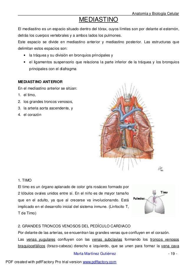 Bonito Anatomía Mediastino Posterior Ideas - Imágenes de Anatomía ...