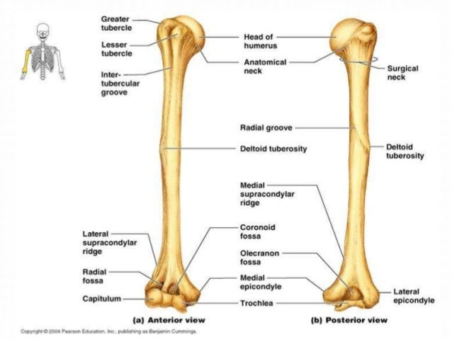 bones and muscles of upper limb, Skeleton