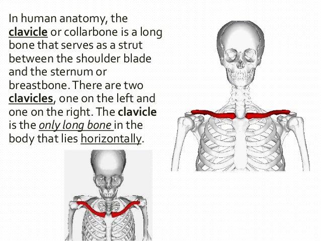 Bones And Muscles Of Upper Limb