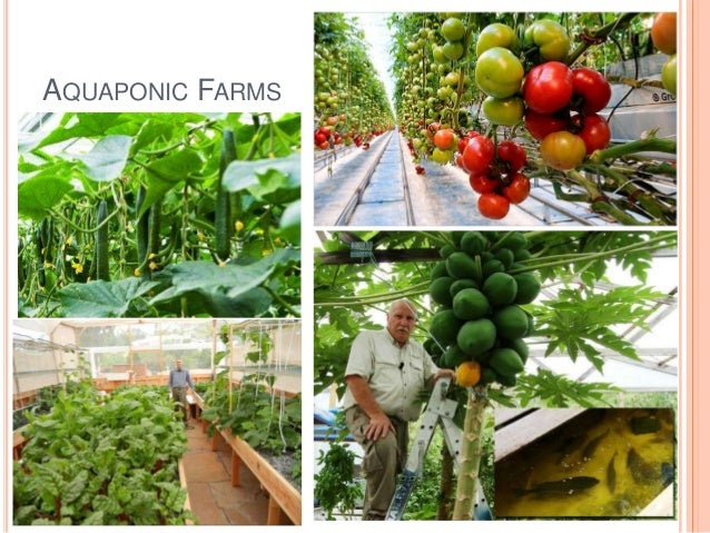 aquaponics the future of sustainable chemical free farming Aquaponic gardener profile – ouroboros  herbs, self-sustainable farming techniques, hydroponics and aquaponics both indoors and out  healthiest, chemical .
