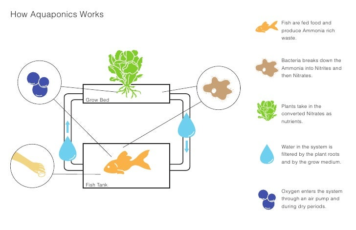 How Aquaponics Works                             Fish are fed food and                             produce Ammonia rich   ...