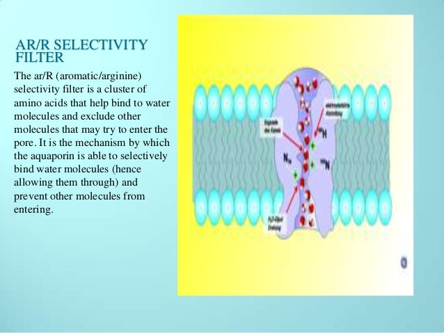 aquaporin water channels It recognizes the aquaporin 4 channel from rat, mouse and human samples accessibility home products ion channels aquaporins (water channels.