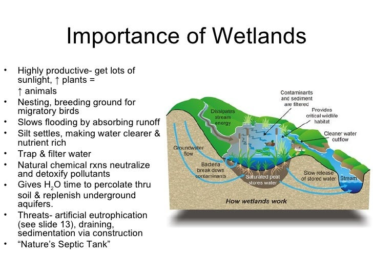 the importance of wetlands to the ecosystem Wetlands prevent flooding by holding water much like a sponge by doing so, wetlands help keep river levels normal and filter and purify the surface.