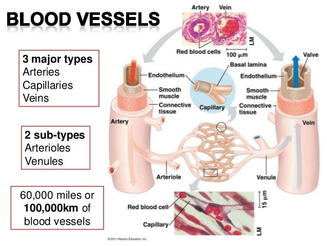 Blood vessels: Arteries, Veins and Capillaries