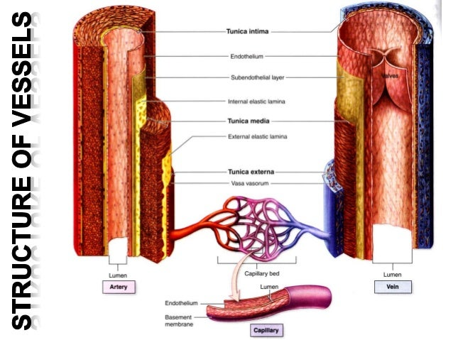 Blood Vessels Arteries Veins And Capillaries