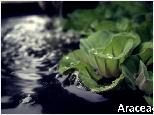 Description  Araceae is a family of monocotyledonous flowering plants  The family also goes by the name of Arum family a...