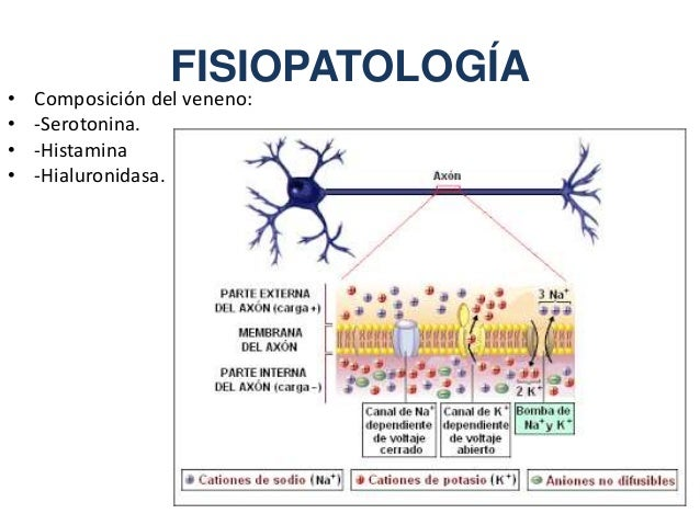 FISIOPATOLOGÍA • Composición del veneno: • -Serotonina. • -Histamina • -Hialuronidasa.