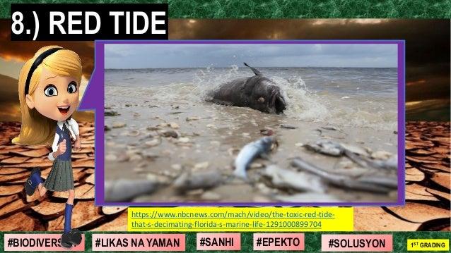 #SOLUSYON#EPEKTO#SANHI#BIODIVERSITY 1ST GRADING#LIKAS NA YAMAN 8.) RED TIDE https://www.nbcnews.com/mach/video/the-toxic-r...