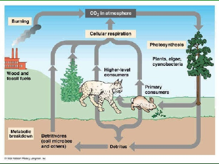 Plants & The Carbon Cycle Plants take in carbon dioxide and convert it to sugar which can be stored until used for ene...