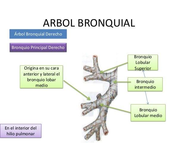 Arbol bronquial