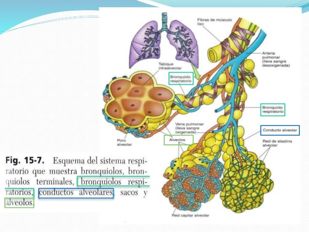 Arbol bronquial ( Bronquios y Bronquiolos)