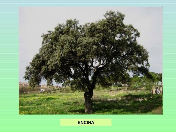 Arboles y bosques - Arbol de pina ...