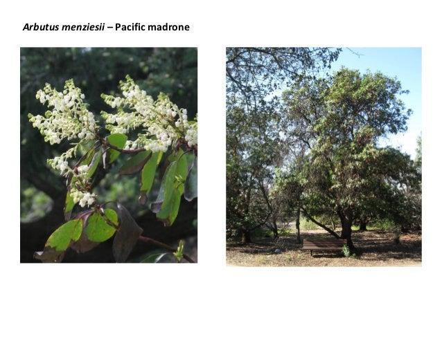 Arbutus menziesii – Pacific madrone