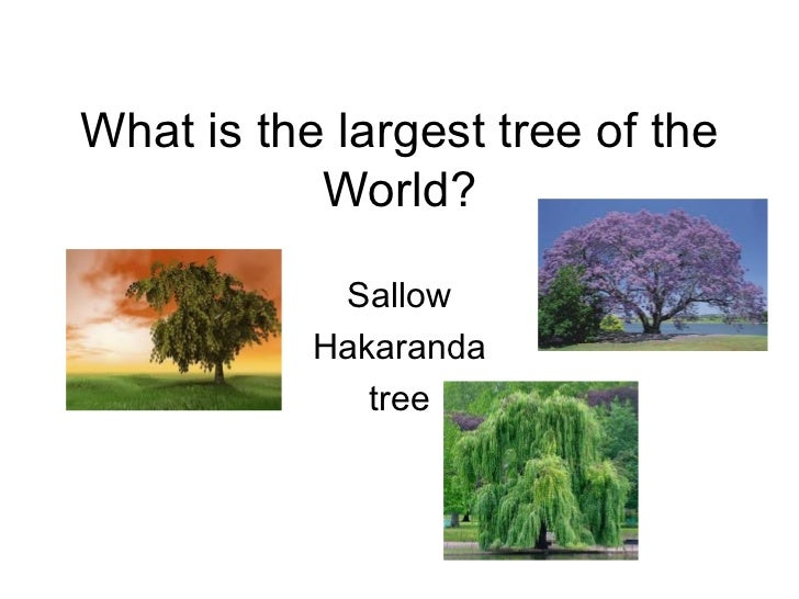 What is the largest tree of the World? Sallow Hakaranda tree
