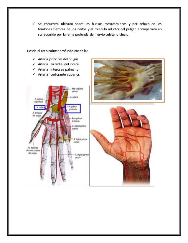 Increíble Los Huesos Del Pulgar Imágenes - Anatomía de Las ...