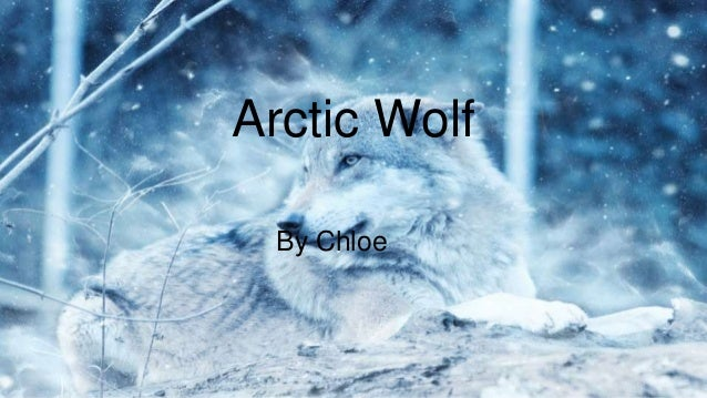 Arctic Wolf By Chloe