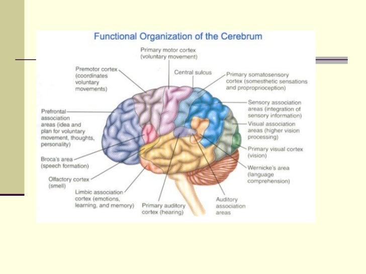 Increíble Anatomía Funcional Del Cerebro Viñeta - Anatomía de Las ...