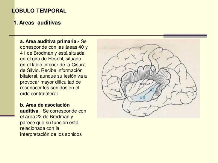 Areas funcionales de la corteza cerebral for Areas de la cocina y sus funciones