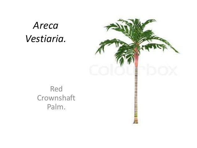 Areca Vestiaria. Red Crownshaft Palm.
