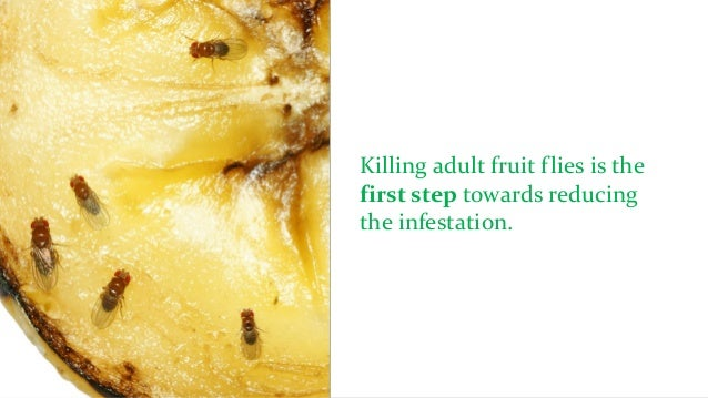 Are Fruit Flies Harmful?