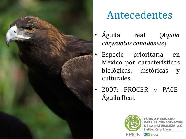 Proyecto de recuperación de las poblaciones de águila real y su hábit…