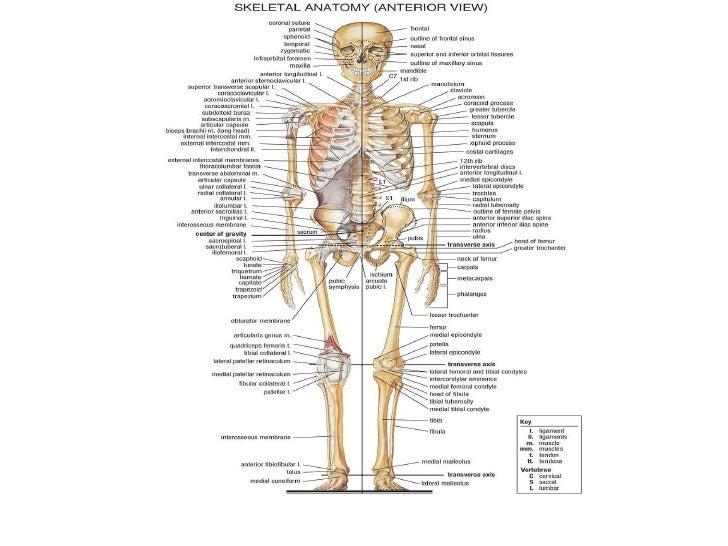 Sistema esqueletico humano pdf
