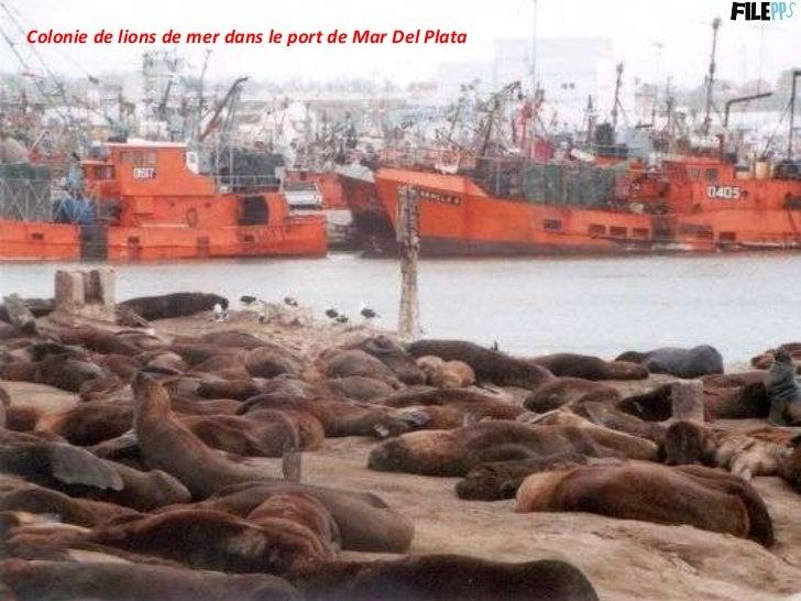 Colonie de lions de mer dans le port de Mar Del Plata