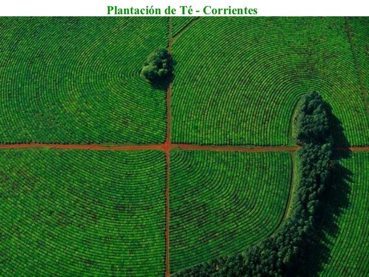 Plantación de Té - Corrientes