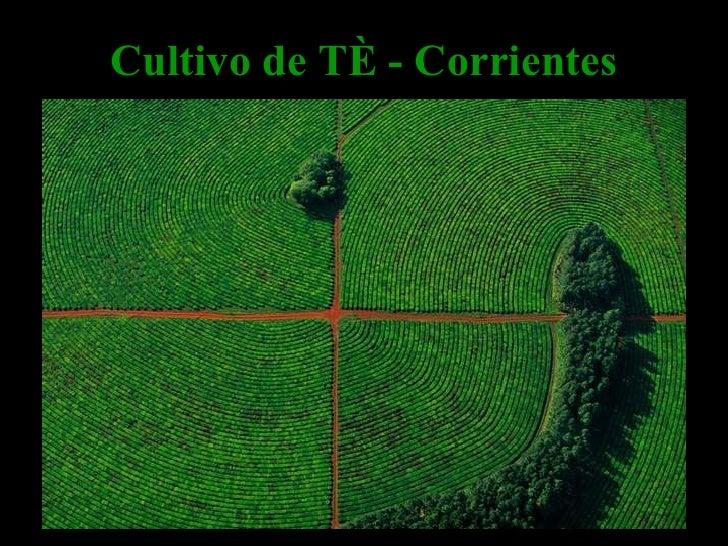 Cultivo de Té - Corrientes