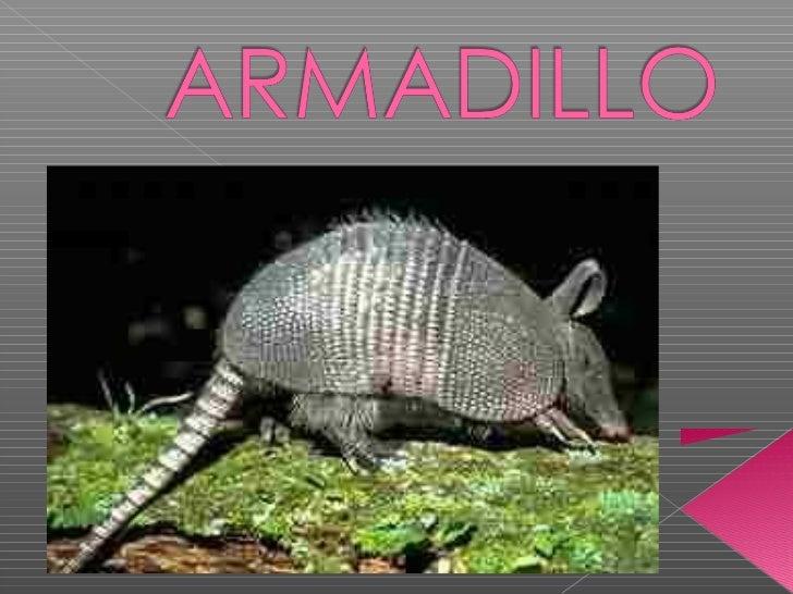 Los armadillos son nocturnos y cavadores.Son insectívoros y omnívoros necrófagospropios de la zona tropical Centroamérica ...