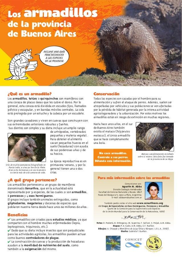 ¿Qué es un armadillo? ¿A qué grupo pertenece? Beneficios Los armadillos, tatúes o quirquinchos son mamíferos con una coraz...