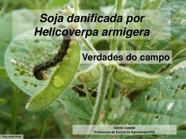 Soja danificada por Helicoverpa armigera Verdades do campo  Cecilia Czepak Professora da Escola de Agronomia/UFG Fotos: Ce...