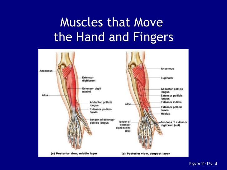 Arm Muscles Ppt