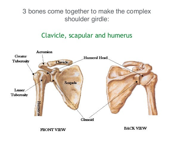 Shoulder bones anatomy