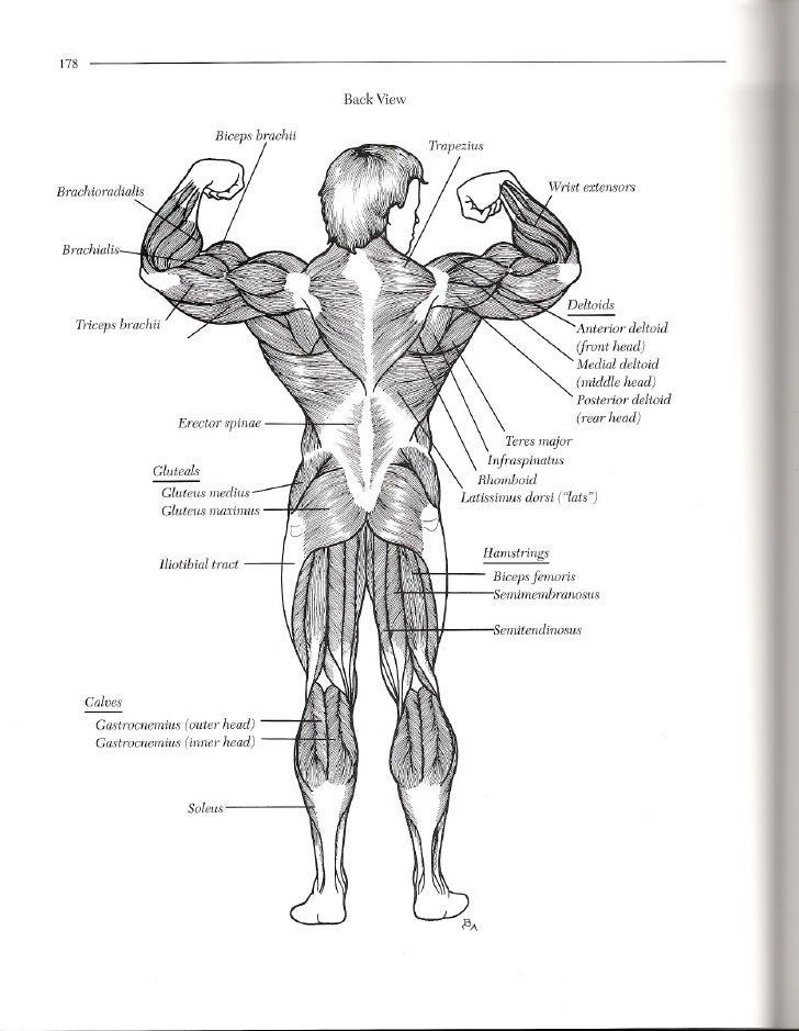 178 Back View Biceps Brachii Brachialis Triceps Anterior Deltoid Front Head Medial Middle Posterior Erector Spinae Rear