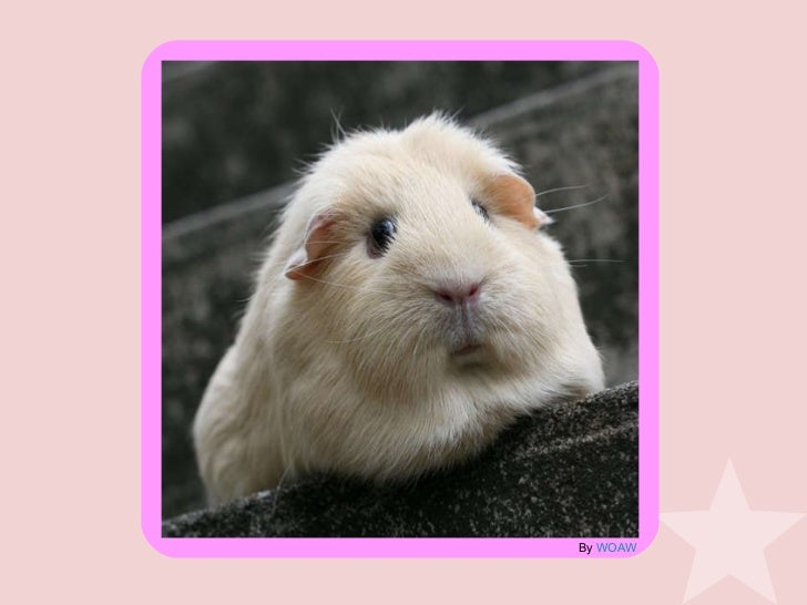 how to tell if a guinea pig is a girl