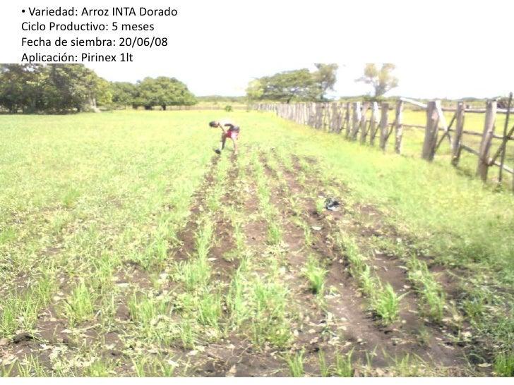 <ul><li> Variedad: Arroz INTA DoradoCiclo Productivo: 5 mesesFecha de siembra: 20/06/08Aplicación: Pirinex 1lt</li></li></...