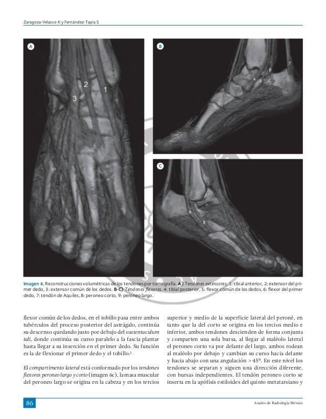 Art. ligamentos y tendones del tobillo