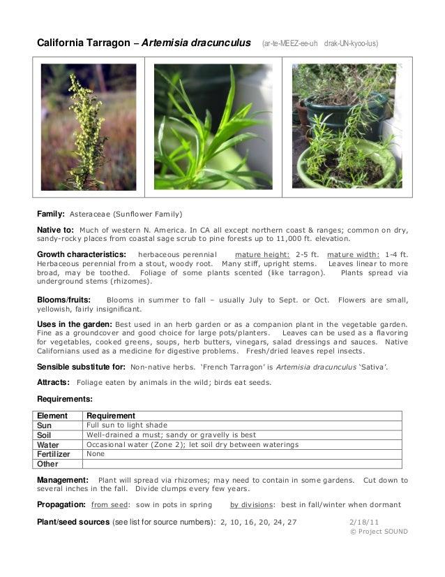 California Tarragon – Artemisia dracunculus  (ar-te-MEEZ-ee-uh drak-UN-kyoo-lus)  Family: Asteraceae (Sunflower Family) Na...
