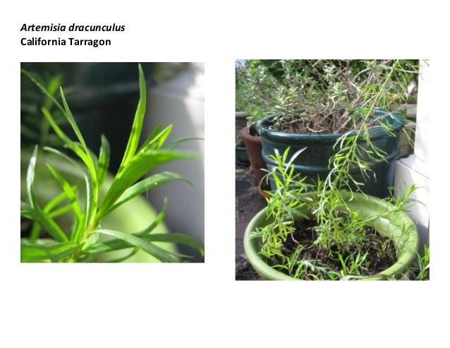 Artemisia dracunculus California Tarragon
