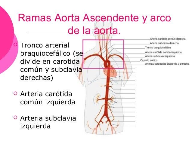 Arteria aorta