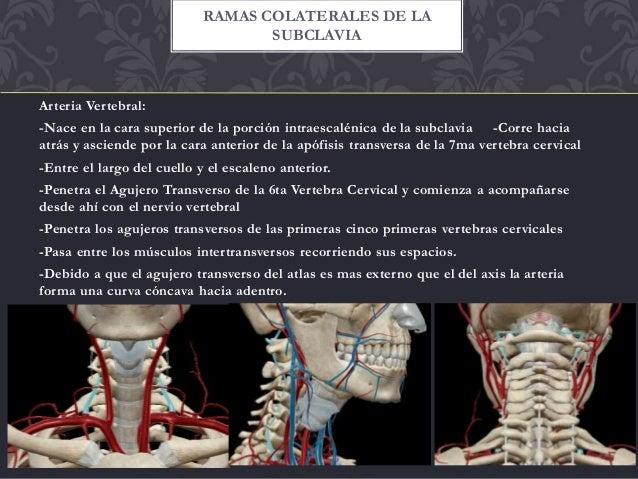 Arteria carotida interna y vertebral (ramas y terminales)