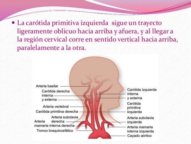 Arteria carotida primitiva
