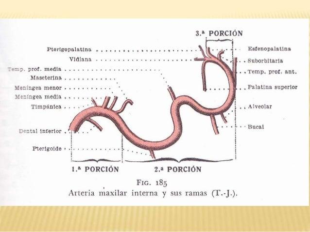 Excelente Ramas De La Arteria Carótida Interna Ilustración ...