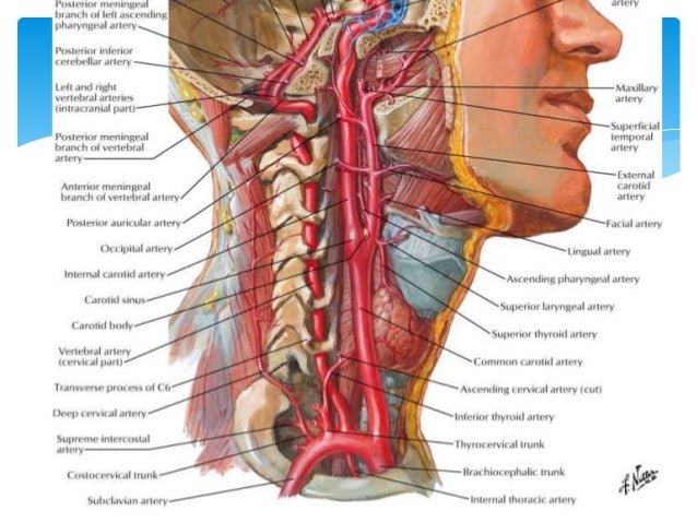 Arterial blood supply of Head, Neck and Face.