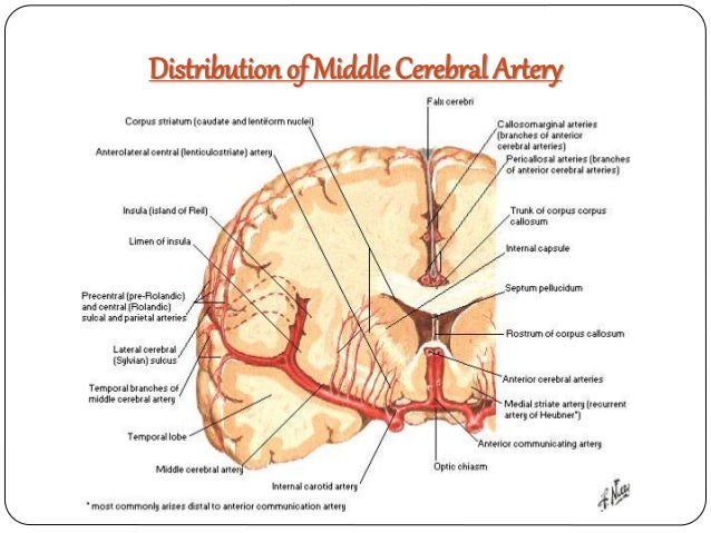 Mca Artery Diagrams - Enthusiast Wiring Diagrams •
