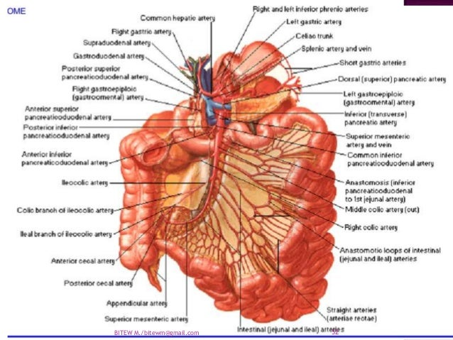 arterial-supply-of-the-abdomen-aortappt-