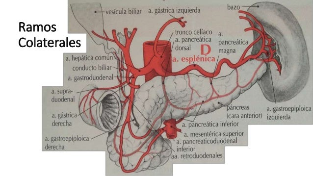 Anatomía - Arteria mesentérica superior